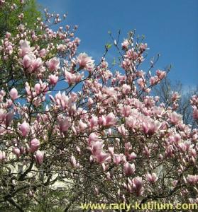 Krásně kvetoucí magnólie na jarní zahradě