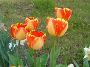 Skupina tulipánů na zahradě