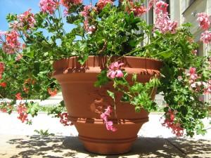 Převislý muškát v květináči