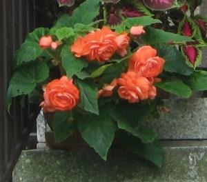 Květináč rozkvetlých begónií