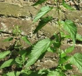 Kopřivy často rostou u zdi
