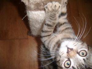 Malé kotě radostně škrábe kočičí škrabadlo